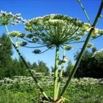 Опасные растения Крыма